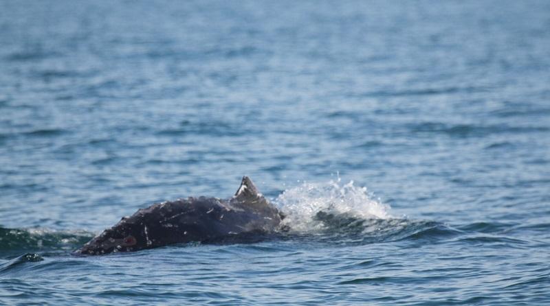 Em poucos dias, quatro baleias jubartes aparecem presas em redes de pesca em Santa Catarina. Duas morreram