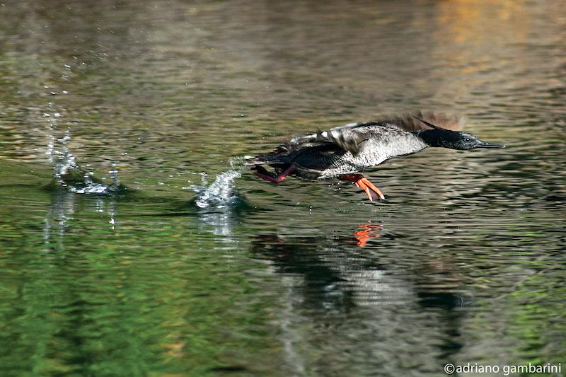 Flávia Ribeiro e seu amor pelos patos-mergulhões