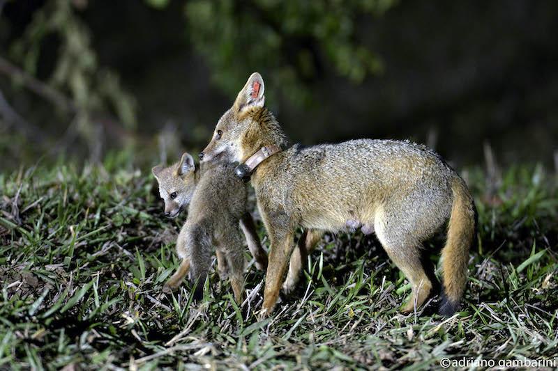 Frederico Lemos e as raposinhas do campo