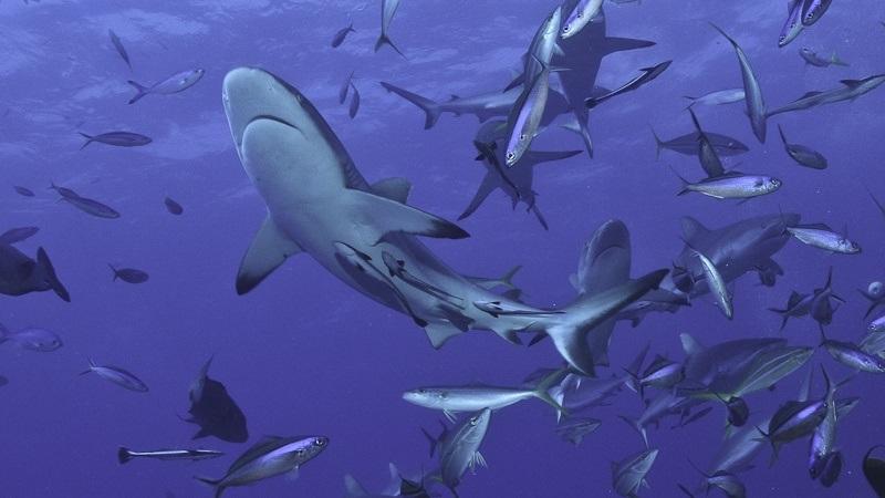 ICMBio adverte sobre alimentação de tubarões por barcos de turismo em Fernando de Noronha