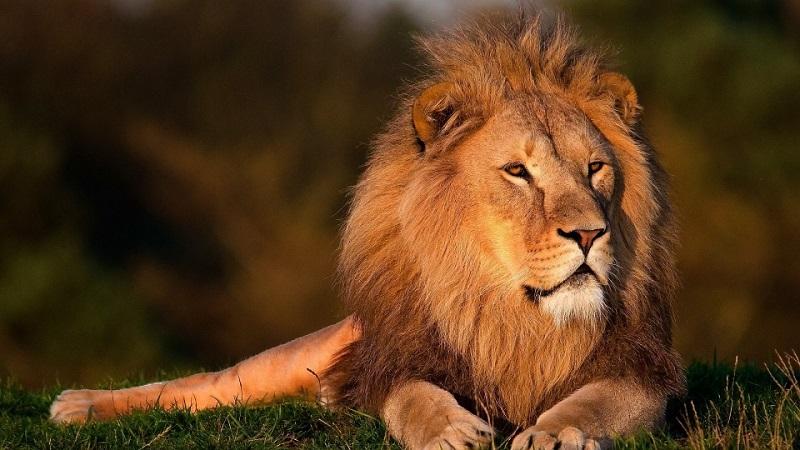 Dois leões morrem de Covid em zoológico da Índia