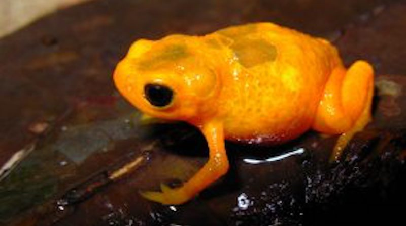 Nova espécie de 'sapinho-pingo-de-ouro' é descoberta na Mata Atlântica, em São Paulo