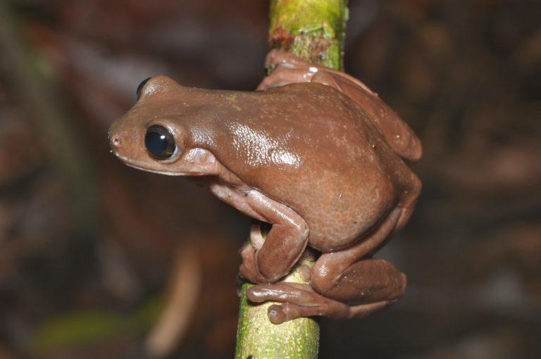 Nova perereca-chocolate pode ajudar a entender melhor a origem de espécies da Austrália