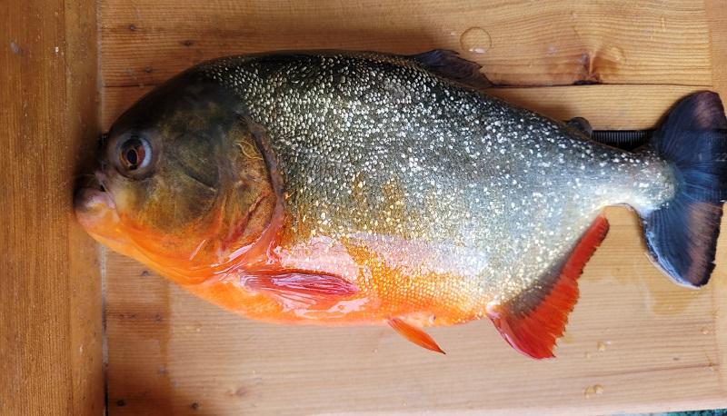 Piranha da Amazônia é encontrada em lago na Louisiana, nos Estados Unidos