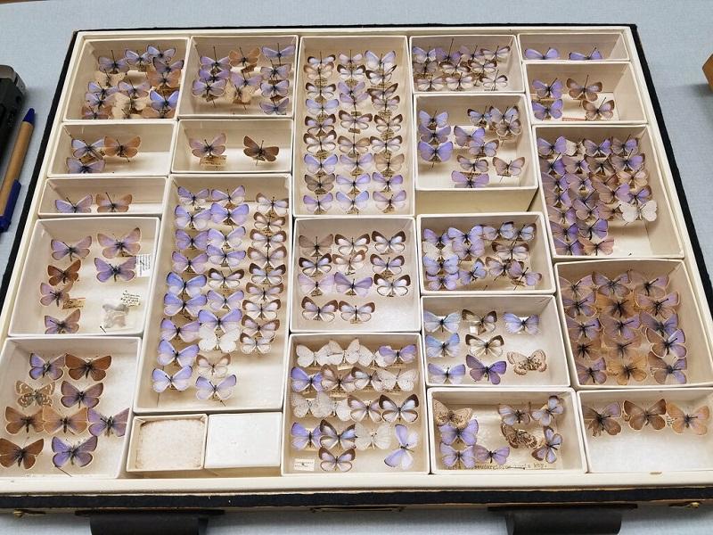 Exames de DNA comprovam a extinção da primeira espécie de borboleta dos Estados Unidos causada pelo ser humano