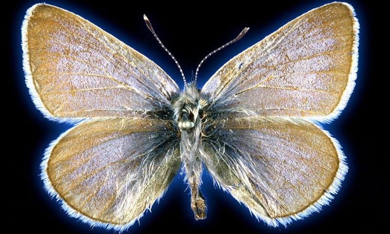 Exames de DNA comprovam a extinção da primeira borboleta dos Estados Unidos causada pelo ser humano