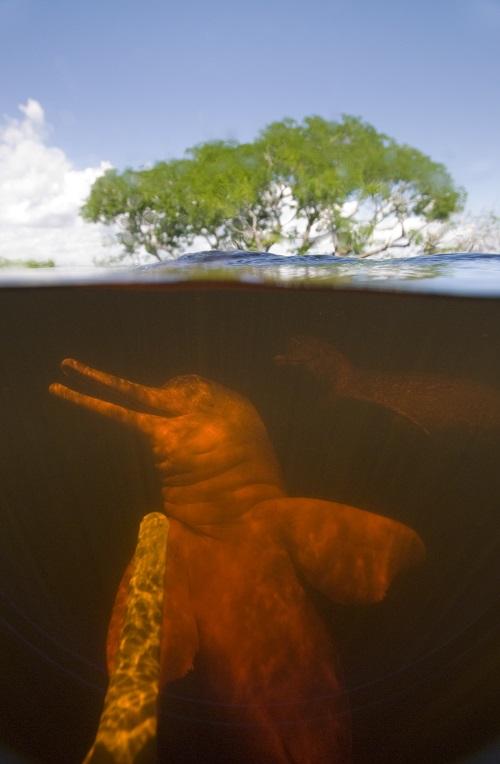 Pesquisadores se surpreendem com a presença de botos amazônicos em rio isolado do Amapá
