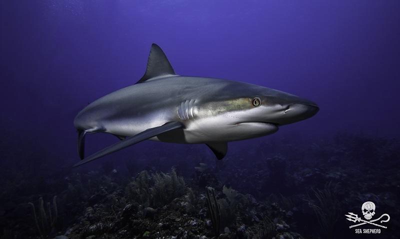 """""""Cação é tubarão"""" é o alerta aos consumidores brasileiros na nova campanha da Sea Shepherd"""