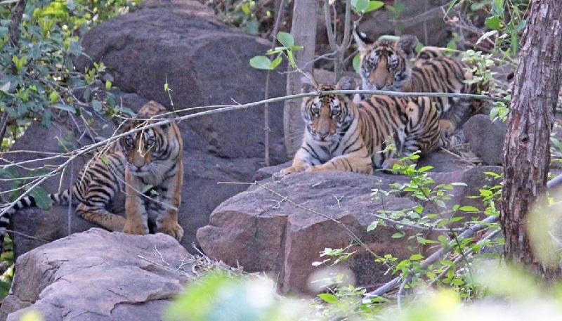 Em comportamento raro, tigre macho cuida de filhotes após morte da fêmea
