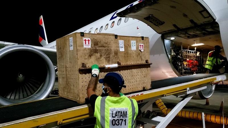 Fêmea de onça-pintada negra é levada de avião do Pará para acasalamento com macho em São Paulo