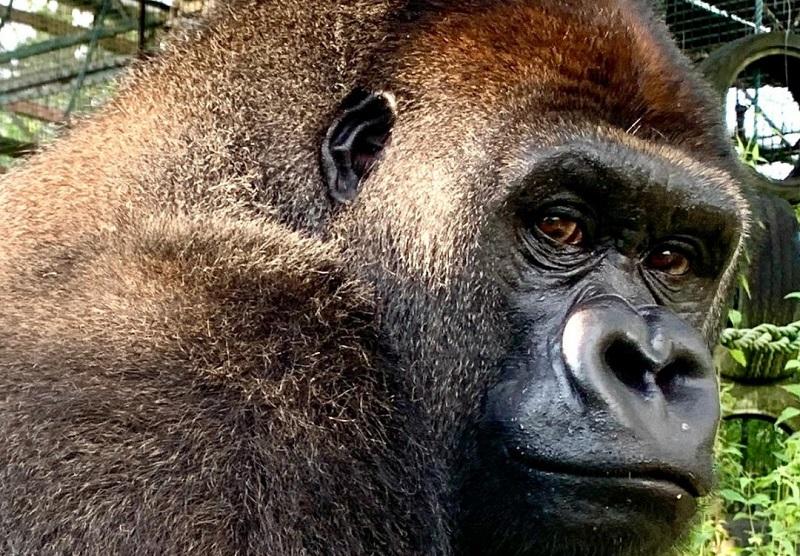 Após treze anos vivendo num parque na Inglaterra, o gorila Joshi é levado para o Congo