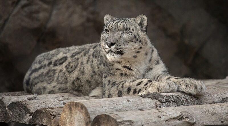 Leopardo-das-neves é mais novo caso de animal contaminado pela covid no San Diego Zoo, nos Estados Unidos