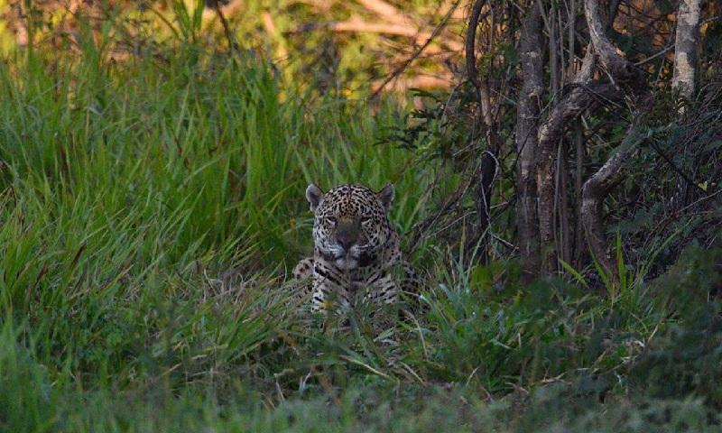 Nove meses após voltar ao Pantanal, Ousado, onça-pintada com patas queimadas pelos incêndios, é visto acasalando