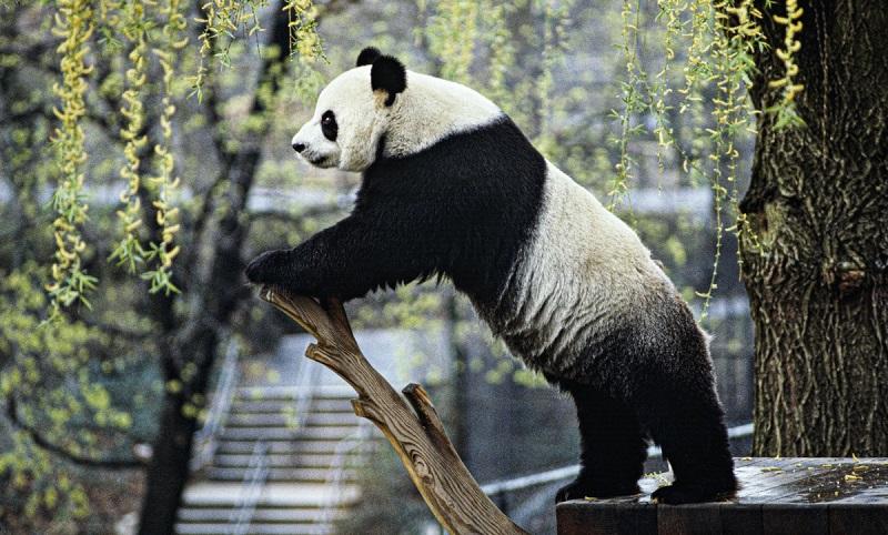 Panda gigante deixa de ser considerado criticamente em risco de extinção na China