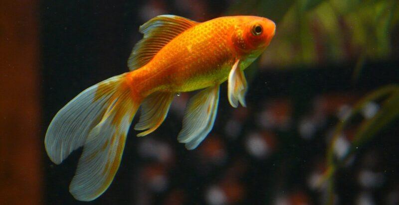 """Jogados em lagos, """"peixinhos-dourados"""" de aquário ficam gigantes e se tornam ameaça para espécies nativas"""