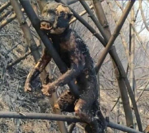 Imagens chocantes de animais carbonizados mostram o impacto dos incêndios no Pantanal