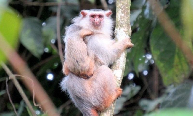Pesquisadores descrevem nova espécie de sagui em região da Amazônia mato-grossense