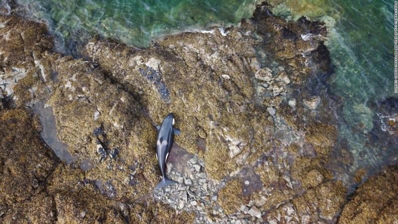 Graças ao esforço de voluntários durante seis horas, orca encalhada em maré baixa consegue voltar ao mar