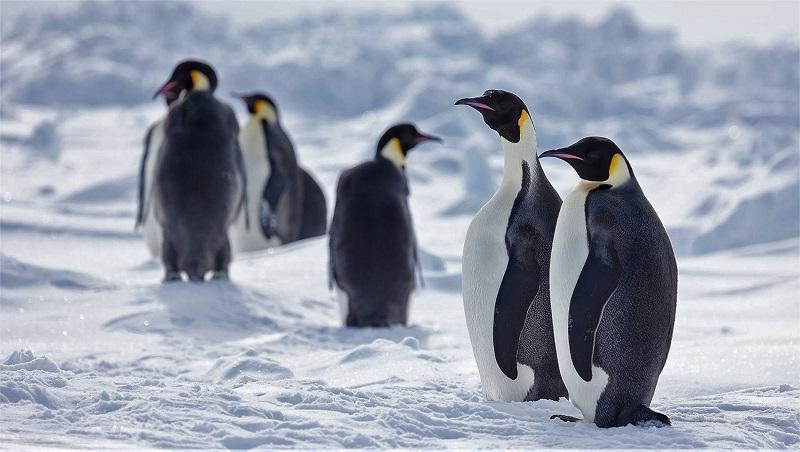 Se nada for feito para conter a crise climática, 98% das colônias de pinguim-imperador podem ser extintas