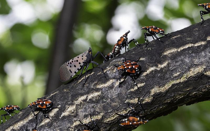 """""""Se encontrar, mate!"""", recomendam autoridades sobre nova espécie de inseto invasor nos Estados Unidos"""