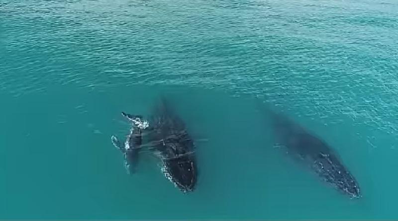 Primeiro filhote de baleia jubarte da temporada 2021 é avistado em Abrolhos