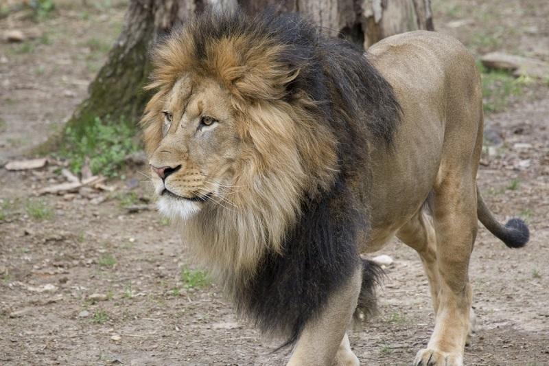 Mais animais, como gorilas e leões, testam positivo para a covid em zoológicos dos Estados Unidos