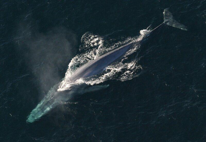Após quase 40 anos, baleias-azuis reaparecem na costa da Espanha