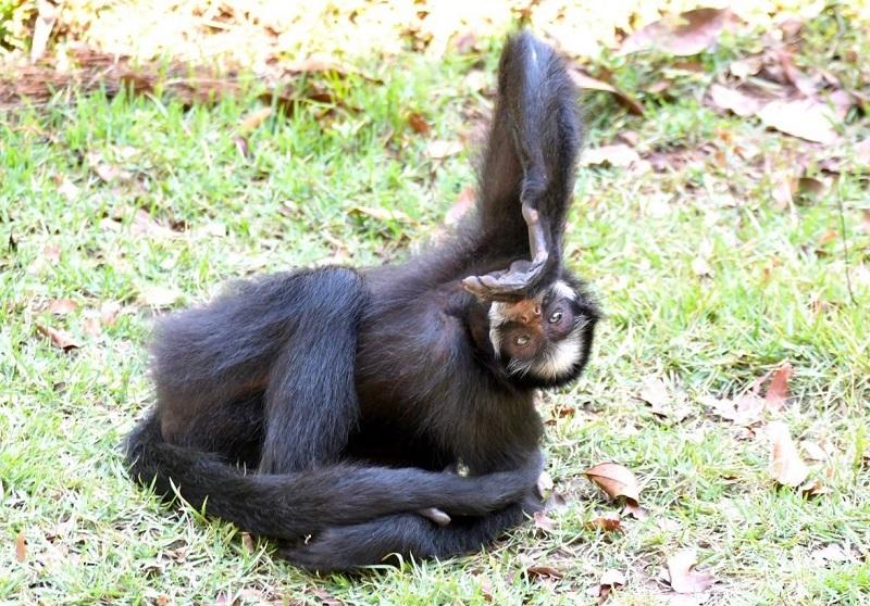 Chicó, macaca que vivia acorrentada em Mato Grosso, é levada para parque no Pará, onde viverá com animais da mesma espécie