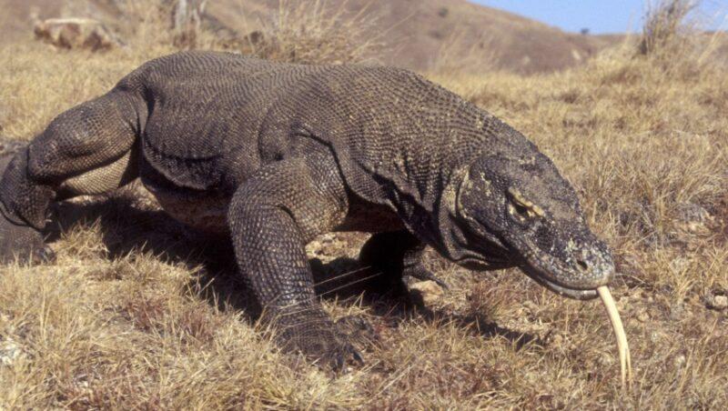 Dragão-de-komodo, o maior lagarto do planeta, se junta a outras 14 mil espécies que podem ser extintas da natureza