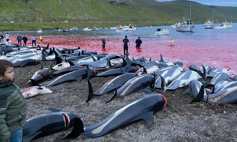 Quase 1.500 golfinhos são mortos em matança brutal, e legal, na Ilhas Faroé, na Dinamarca