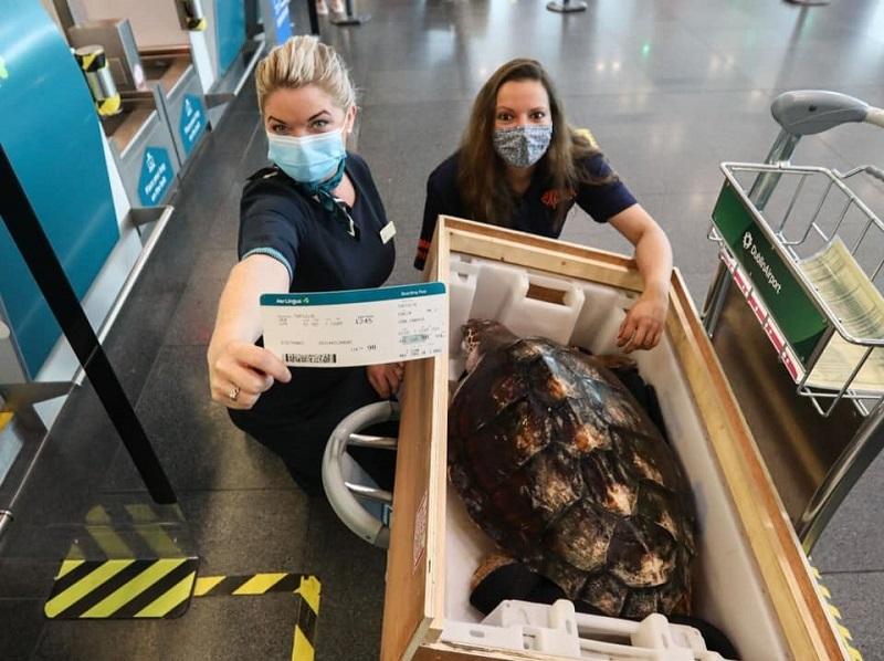 Julius Caesar, a tartaruga que se perdeu na costa gelada da Irlanda em 2019, é levada, de avião, para as águas mornas da Espanha