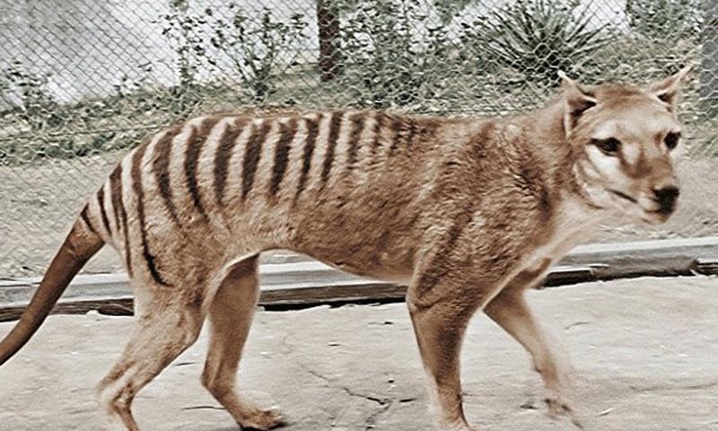 O extinto tigre-da-tasmânia volta à vida num breve vídeo, com pouco mais de 60 segundos