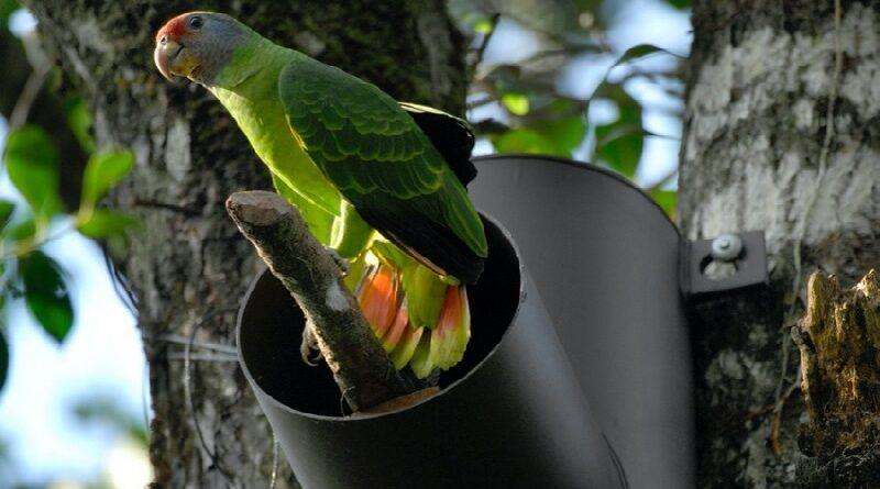 Ninhos artificiais: aliados essenciais na reprodução dos papagaios