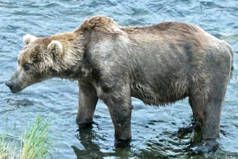 Antes e depois da hibernação: competição popular elege o urso mais gorducho de parque no Alaska
