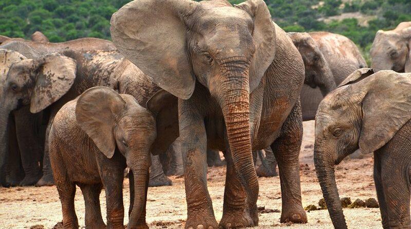 Caça por marfim pode ter sido responsável pela evolução de elefantes sem presas