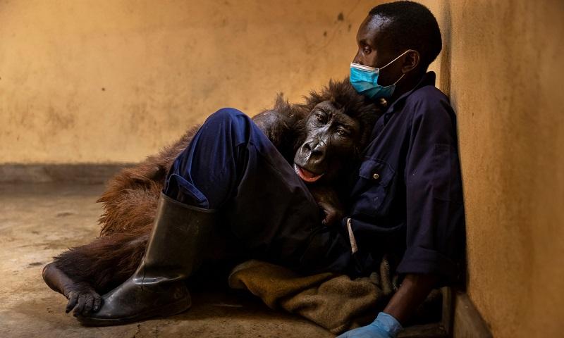Morre gorila do Congo que ficou famosa no mundo inteiro com selfie em 2019