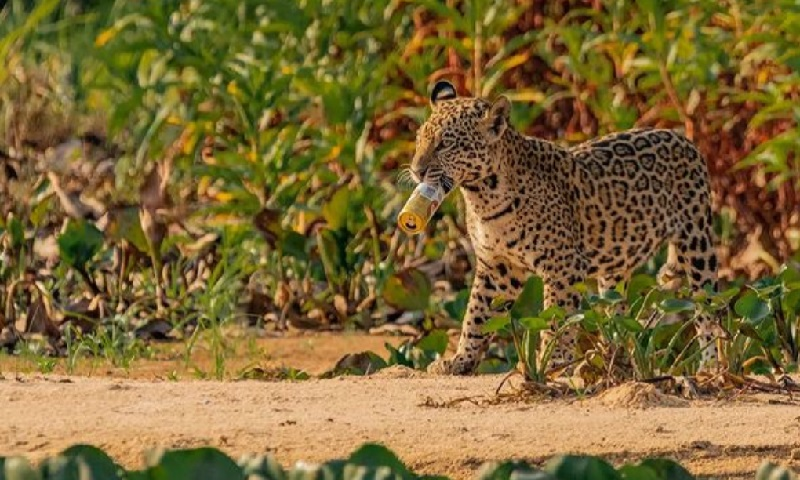 Flagrante de filhote de onça-pintada com lata de cerveja na boca no Pantanal reforça o descaso com o descarte de resíduos na natureza
