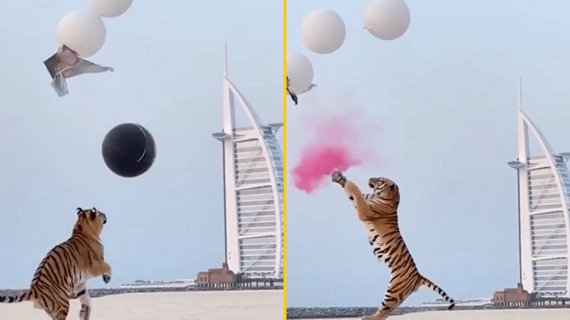 """Uso de tigre em festa de """"revelação de sexo de bebê"""", em Dubai, provoca revolta e consternação entre internautas"""
